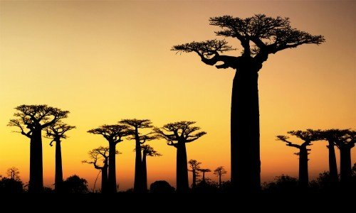 Photo of Baobab: proprietà di questo nuovo superfood
