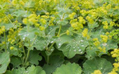 Alchemilla: proprietà e utilizzi di questa pianta