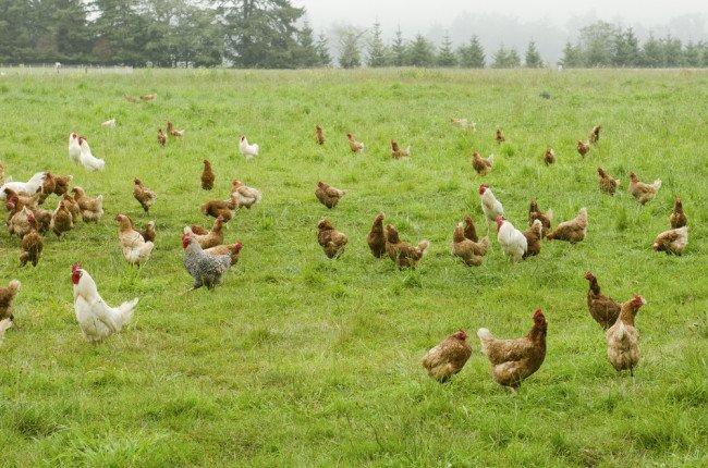 pollo biologico
