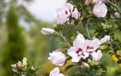 Alla scoperta dell'altea, una delle piante officinali più apprezzate