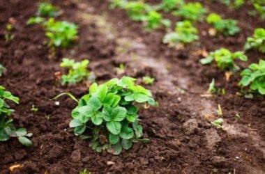 Coltivare fragole: in vaso, nell'orto ed a casa in balcone