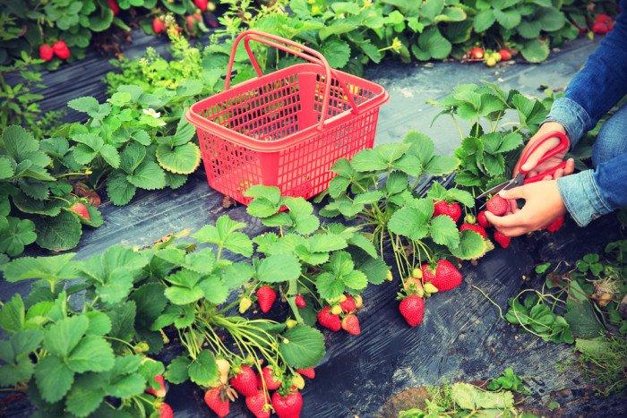 Coltivare fragole in vaso nell 39 orto ed a casa in balcone for Fragole piante in vaso