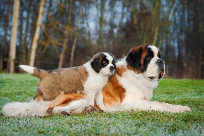 cani più grandi
