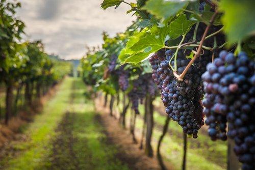 Photo of Tutto sull'uva e sulla vite, come si coltiva, le proprietà ed i benefici e gli utilizzi in cucina