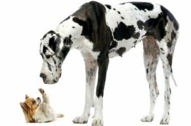 Razze di cani più grandi: quelli enormi e quelli da record del Mondo
