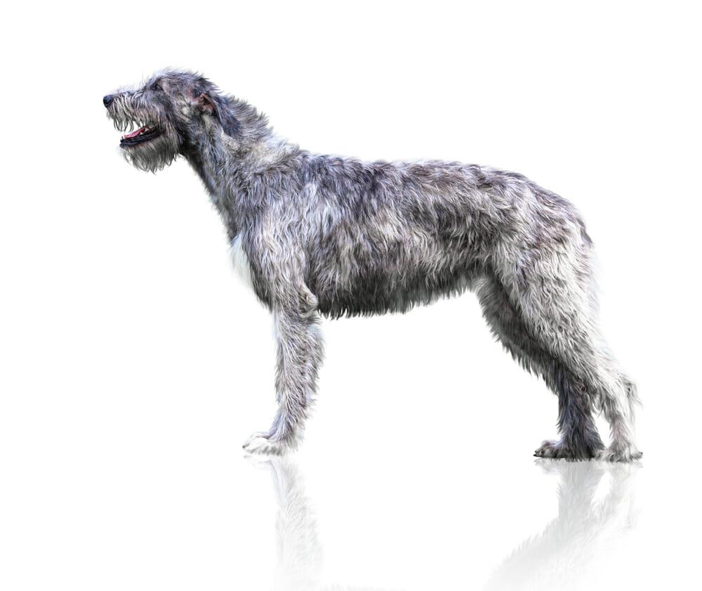 Photo of Razze di cani più grandi: quelli enormi e quelli da record del Mondo