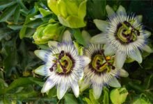 Photo of Proprietà e benefici della passiflora: la pianta del frutto della passione