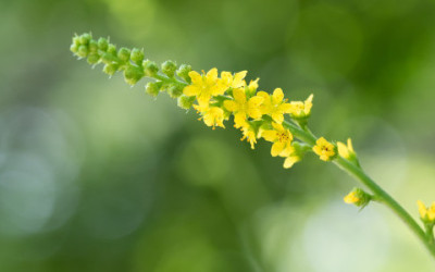 Scopriamo tutte le proprietà curative e gli utilizzi dell'agrimonia eupatoria
