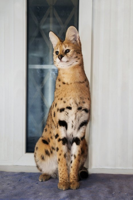 Amato Gatto savannah: il gatto più lungo del mondo NH34