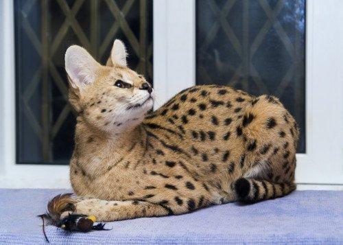 Amato Gatto savannah: il gatto più lungo del mondo PM01