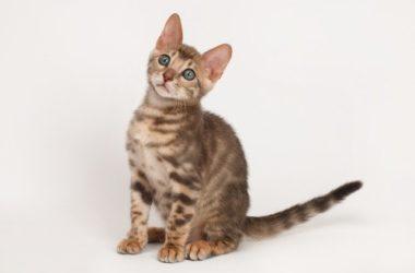 Gatto del Bengala: caratteristiche e aspetto
