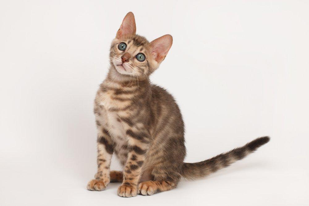 Photo of Gatto del Bengala: caratteristiche e aspetto