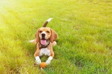 Beagle nano: carattere, aspetto e addestramento