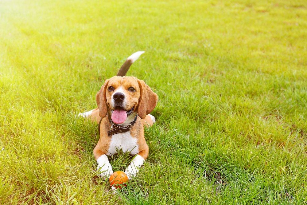 Photo of Beagle nano: carattere, aspetto e addestramento