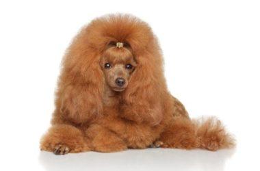 Barboncino: carattere e caratteristiche di questo cane di piccola taglia
