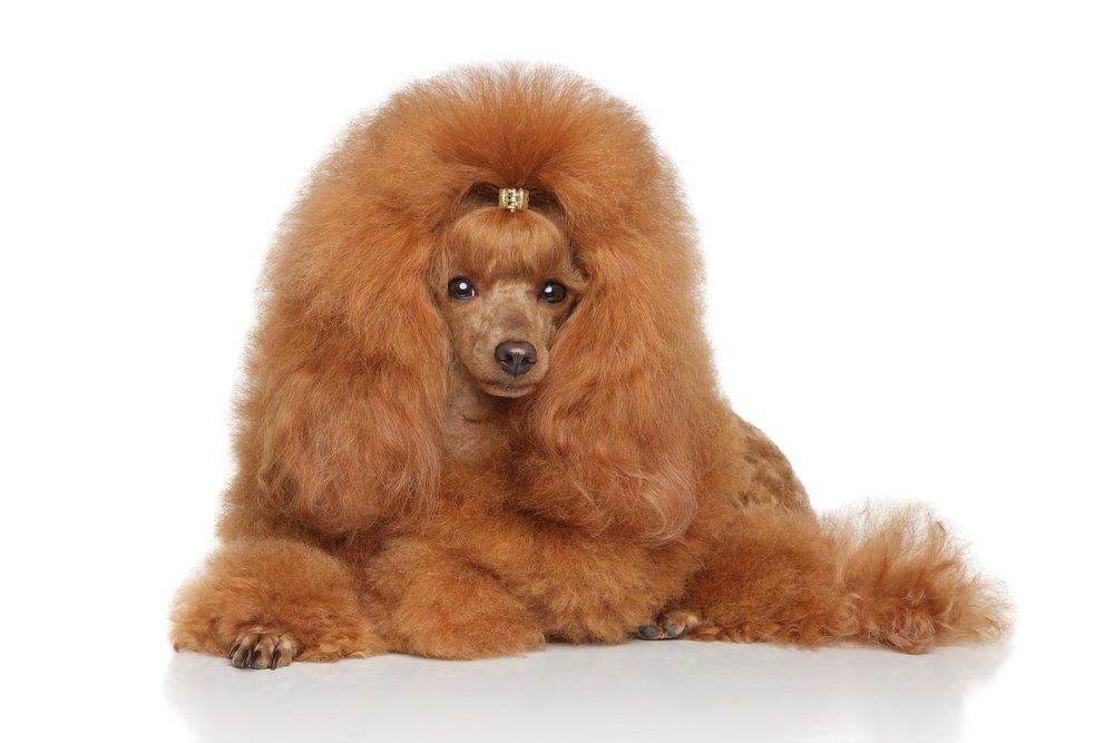 Photo of Barboncino: carattere e caratteristiche di questo cane di piccola taglia