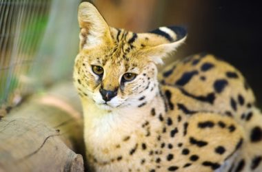 Gatto savannah: il gatto più lungo del mondo