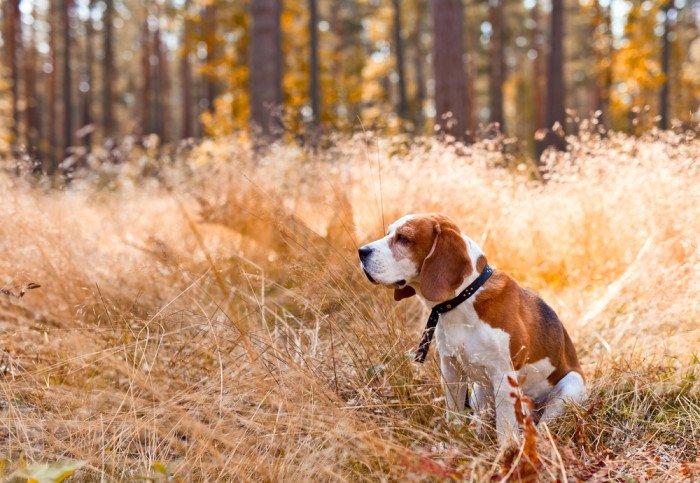 Beagle Nano Carattere Aspetto E Addestramento Tuttogreen