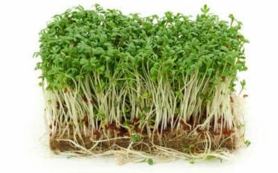 Proprietà terapeutiche del crescione ed utilizzi in cucina