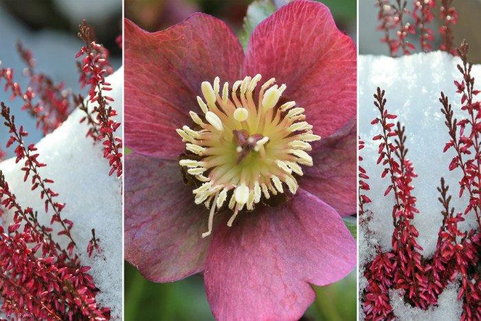 Fiori invernali quali sono e come coltivarli tuttogreen for Fiori invernali da vaso