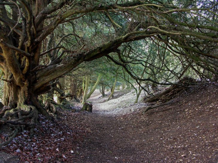yew tree tunnel
