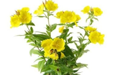 Olio di enotera: proprietà cosmetiche e antinfiammatorie