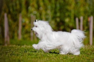 Guida al cane maltese: carattere, educazione e aspetto
