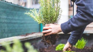 Photo of Perché coltivare il rosmarino è facile e alla portata anche dei pollici meno verdi