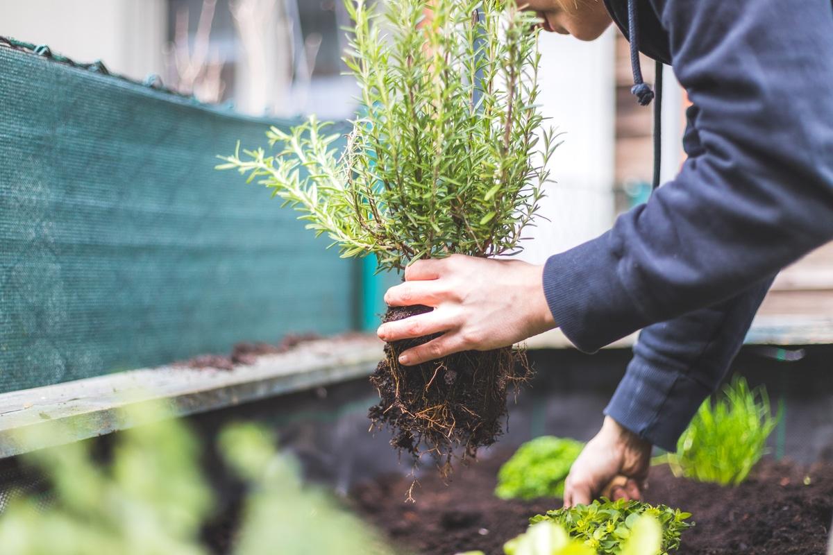 Quando Posso Potare Il Rosmarino come coltivare il rosmarino in terrazzo o in giardino: la