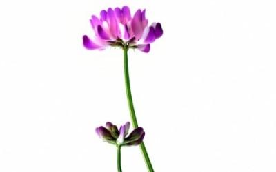 Scopriamo tutti benefici e le proprietà dell'astragalo, come viene utilizzato in medicina cinese e fitoterapia ma anche le controindicazioni.