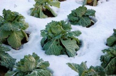 I lavori dell'orto di gennaio: cosa seminare, raccogliere e potare