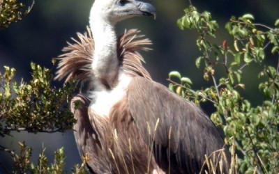 Un farmaco minaccia gli avvoltoi europei