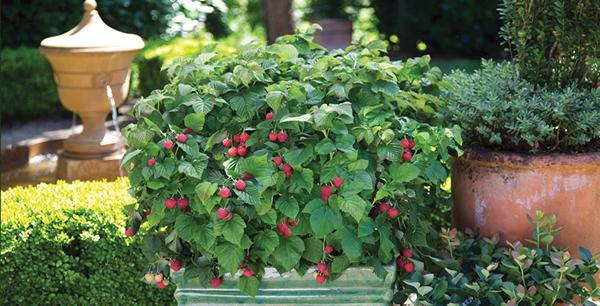 Come coltivare lamponi in vaso e a terra tuttogreen for Coltivare more in vaso
