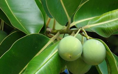 Olio di tamanù, proprietà e utilizzi