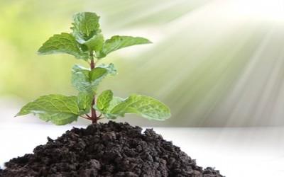 Come coltivare menta in vaso e a terra: la guida pratica