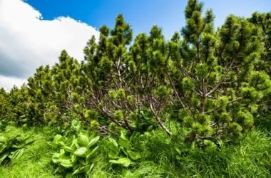 Guida alle proprietà ed ai benefici del pino mugo