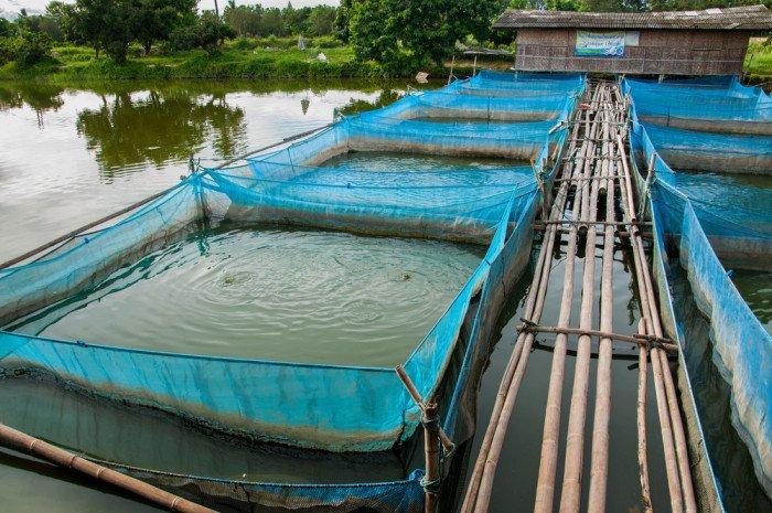 Acquacoltura come vengono allevati i pesci che non sono for Vasche per allevamento trote