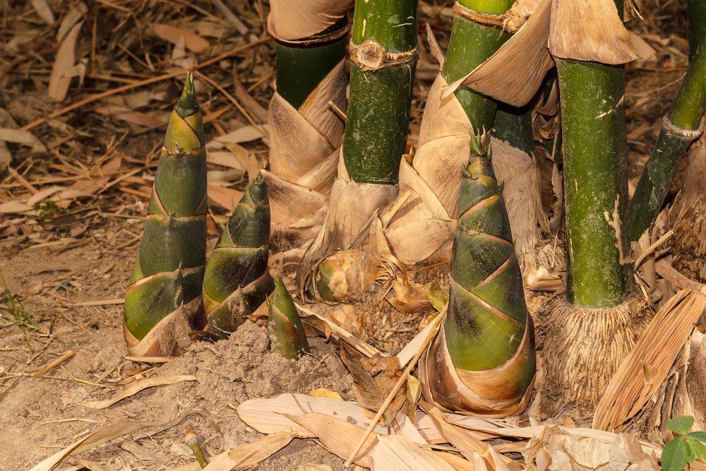 Come coltivare bamb in giardino o in casa tuttogreen for Semi bambu gigante