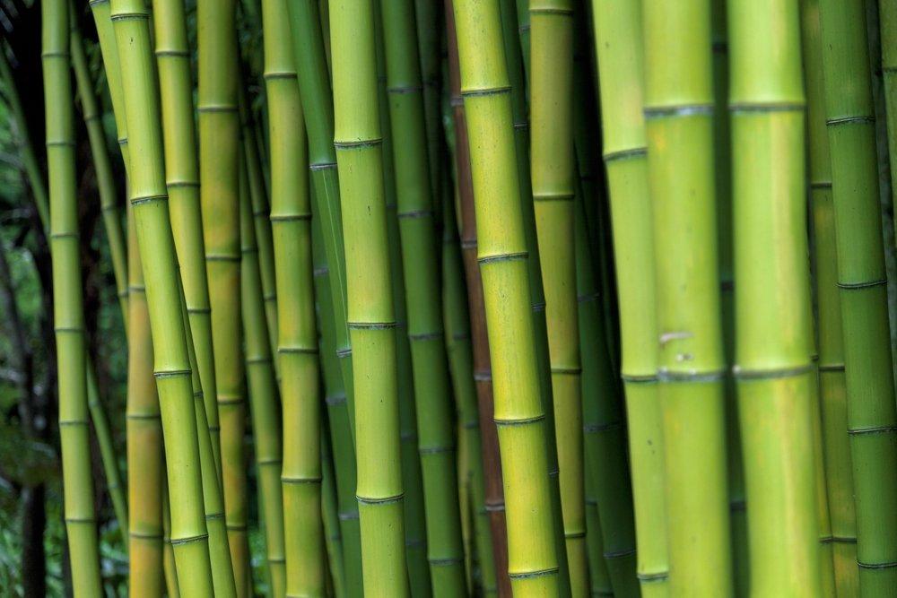 Coltivare Bamb Gigante In Italia.Come Coltivare Bambu In Giardino O In Casa Tuttogreen