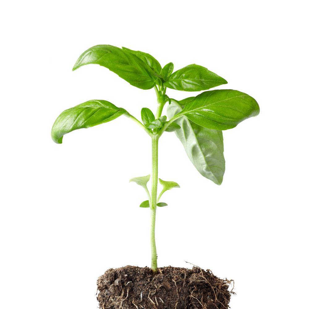 Come coltivare il basilico in vaso e a terra for Coltivare il basilico