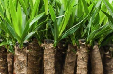 Yucca proprietà e benefici per la salute
