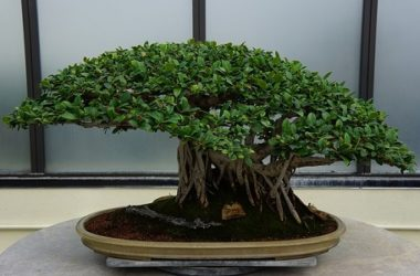 Come coltivare bonsai
