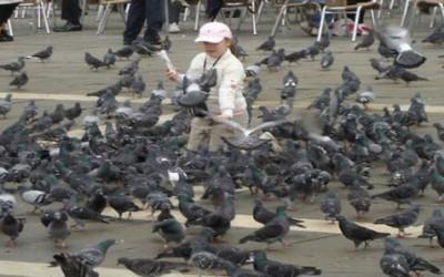 I piccioni in città: un vademecum della Lipu per gestirli