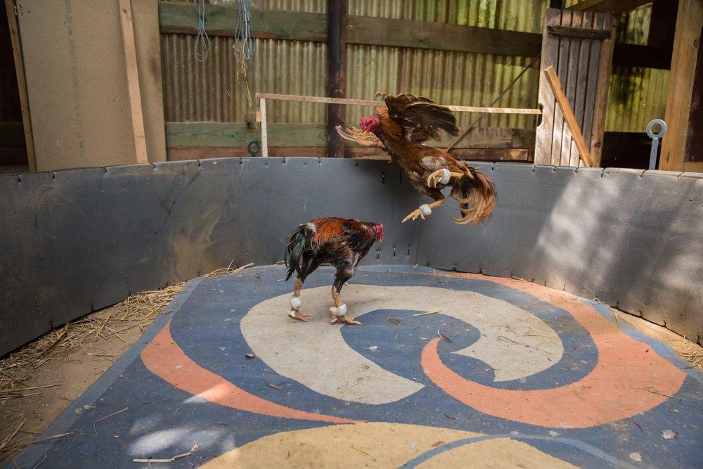 Photo of Combattimenti tra galli: sono ancora una triste realtà da denunciare