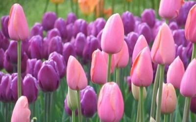 Come coltivare tulipani in vaso e a terra