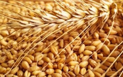Farina di kamut: cos'è e quali sono i benefici