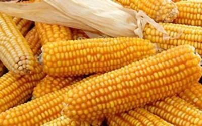 Mais OGM: cos'è veramente? Dobbiamo averne paura?