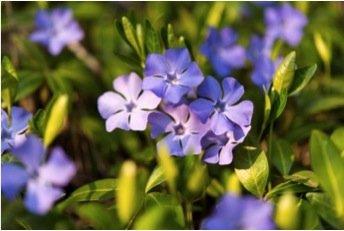 Photo of Scopriamo la pervinca, una pianta perenne dalle splendide fioriture e con diverse proprietà benefiche