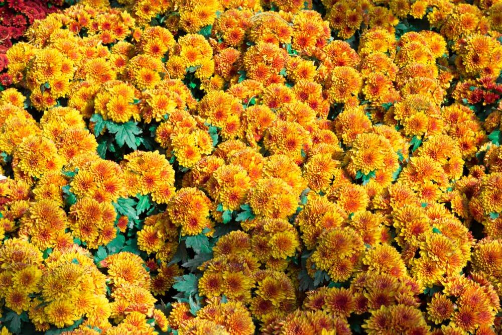 Photo of Calendula officinalis: scopriamo l'olio e le creme derivanti dai fiori di questa pianta