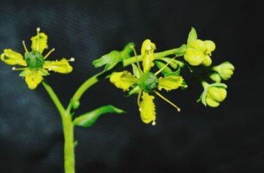 Ruta: proprietà e benefici per l'organismo di questa pianta